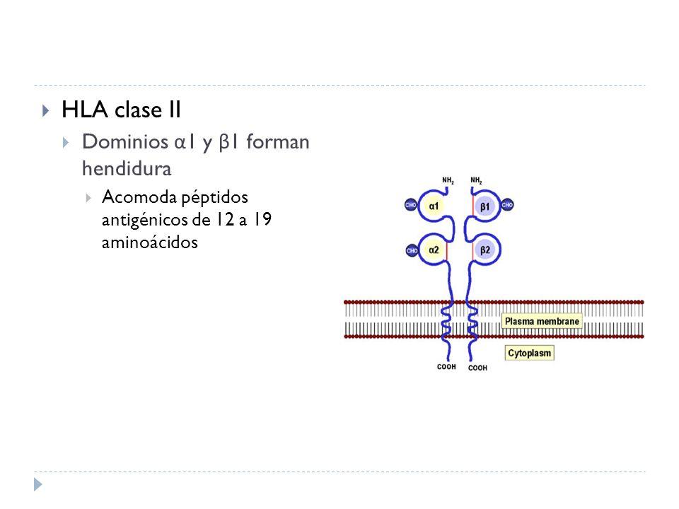 Diferencias funcionales HLA clase I HLA clase II Distribuidas en todas las células somáticas Excepto hematíes Antígenos que se sintetizan en retículo endoplásmico Presentación a linfocitos T CD8+ Distribución limitada a CPA Células B Macrófagos Células Dendríticas Antígenos captados por endocitosis Presentación a linfocitos T CD4+
