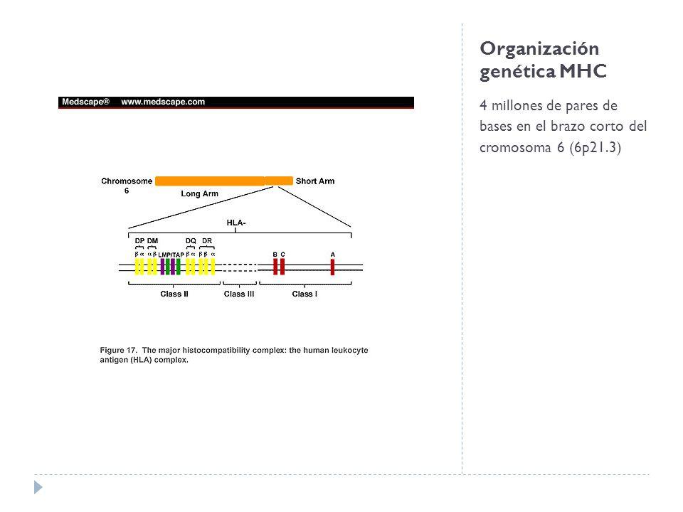 Organización genética del MHC Genes de cadena α HLA clase I Subregiones del HLA clase II HLA-A HLA-B HLA-C DR Un único gen de cadena α DRA Variable número de genes de cadena β DRB DQ, DP Contienen un par de genes de cadenas α y β