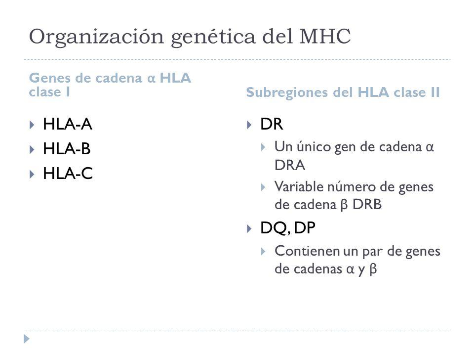 Organización genética del MHC Genes de cadena α HLA clase I Subregiones del HLA clase II HLA-A HLA-B HLA-C DR Un único gen de cadena α DRA Variable nú