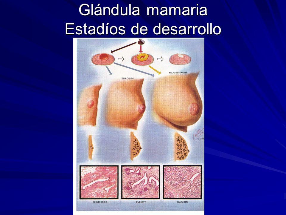 Glándula mamaria Estadíos de desarrollo