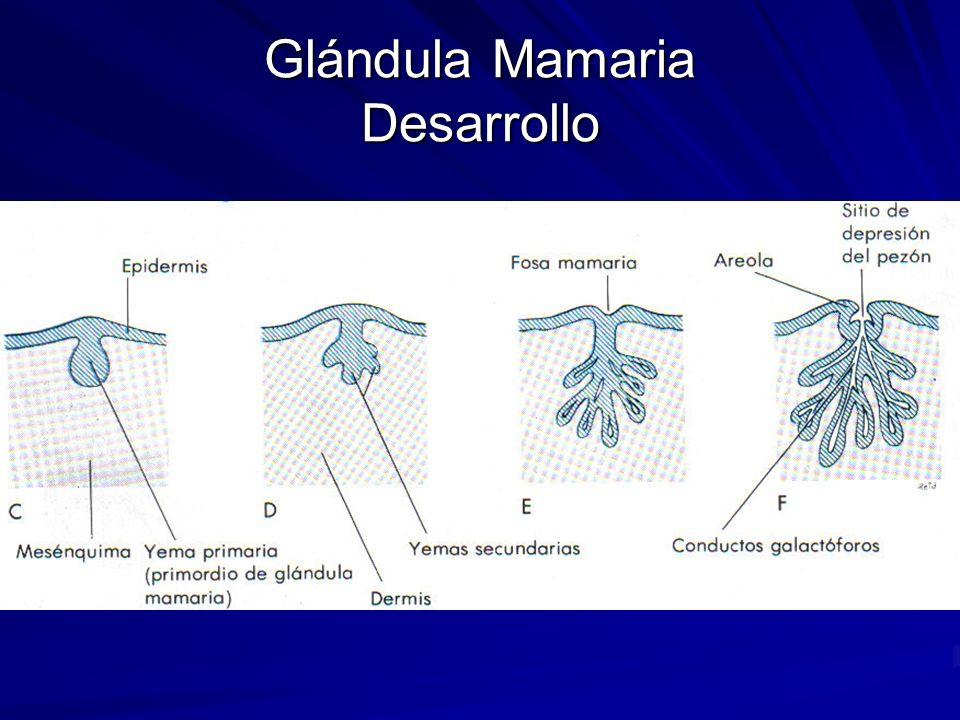 Glándula mamaria Embriología y desarrollo