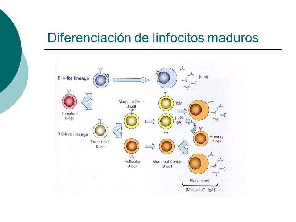Diferenciación de linfocitos maduros