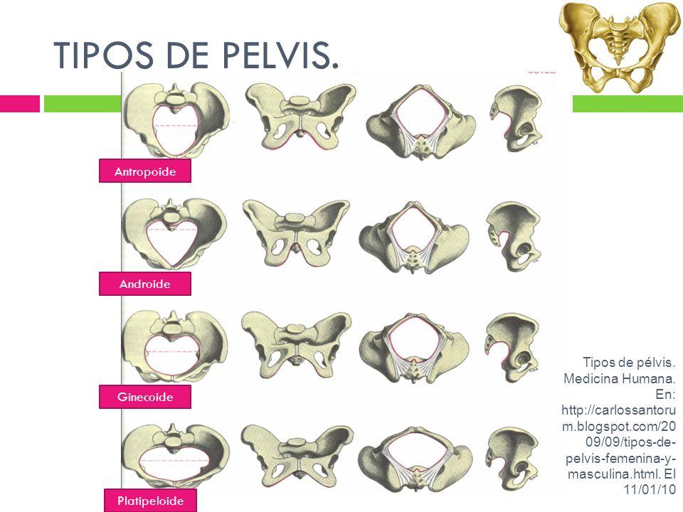 TIPOS DE PELVIS. Antropoide Androide Ginecoide Platipeloide Tipos de pélvis. Medicina Humana. En: http://carlossantoru m.blogspot.com/20 09/09/tipos-d