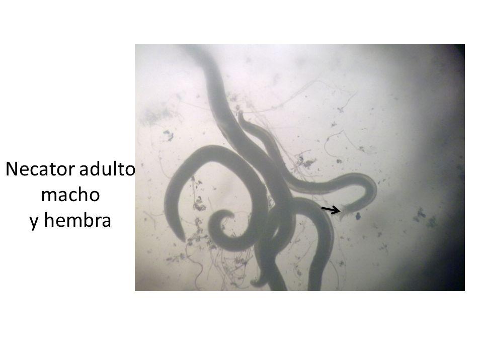 Necator adulto macho y hembra