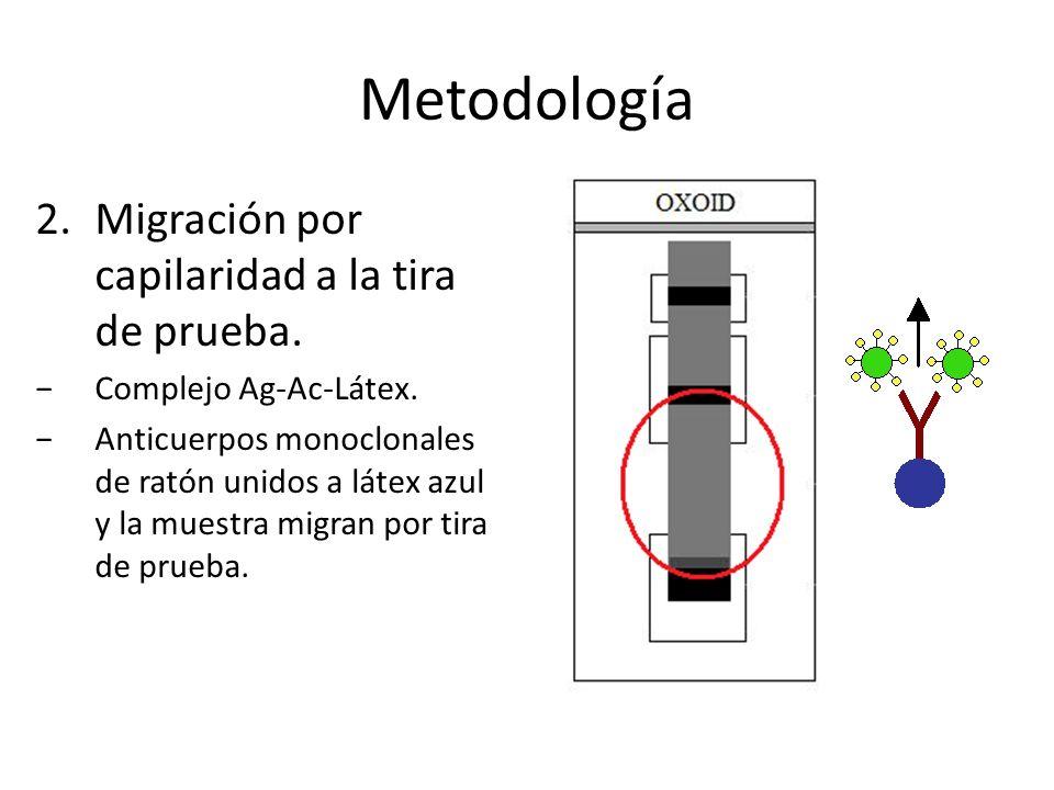 Metodología 2.Migración por capilaridad a la tira de prueba. Complejo Ag-Ac-Látex. Anticuerpos monoclonales de ratón unidos a látex azul y la muestra