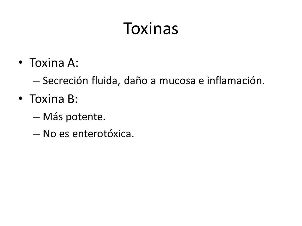 Toxinas Toxina A: – Secreción fluida, daño a mucosa e inflamación. Toxina B: – Más potente. – No es enterotóxica.