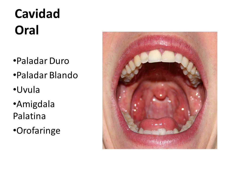 Cavidad Oral Paladar Duro Paladar Blando Uvula Amigdala Palatina Orofaringe