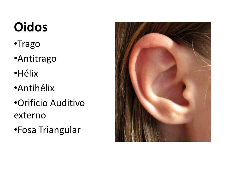 Oidos Trago Antitrago Hélix Antihélix Orificio Auditivo externo Fosa Triangular