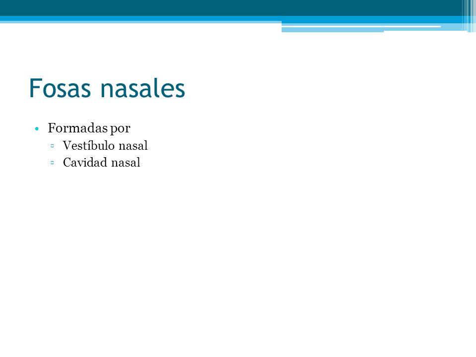 Fosas nasales Formadas por Vestíbulo nasal Cavidad nasal
