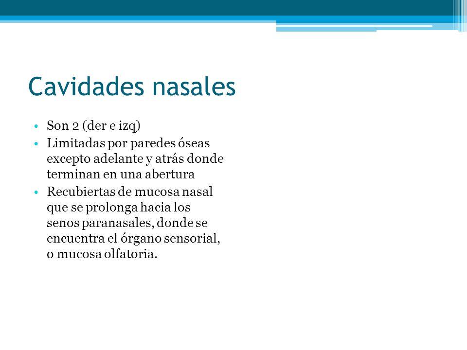 Cavidades nasales Son 2 (der e izq) Limitadas por paredes óseas excepto adelante y atrás donde terminan en una abertura Recubiertas de mucosa nasal qu