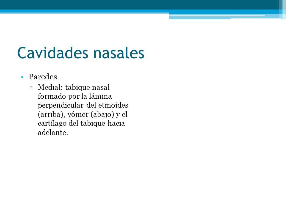 Cavidades nasales Paredes Medial: tabique nasal formado por la lámina perpendicular del etmoides (arriba), vómer (abajo) y el cartílago del tabique ha