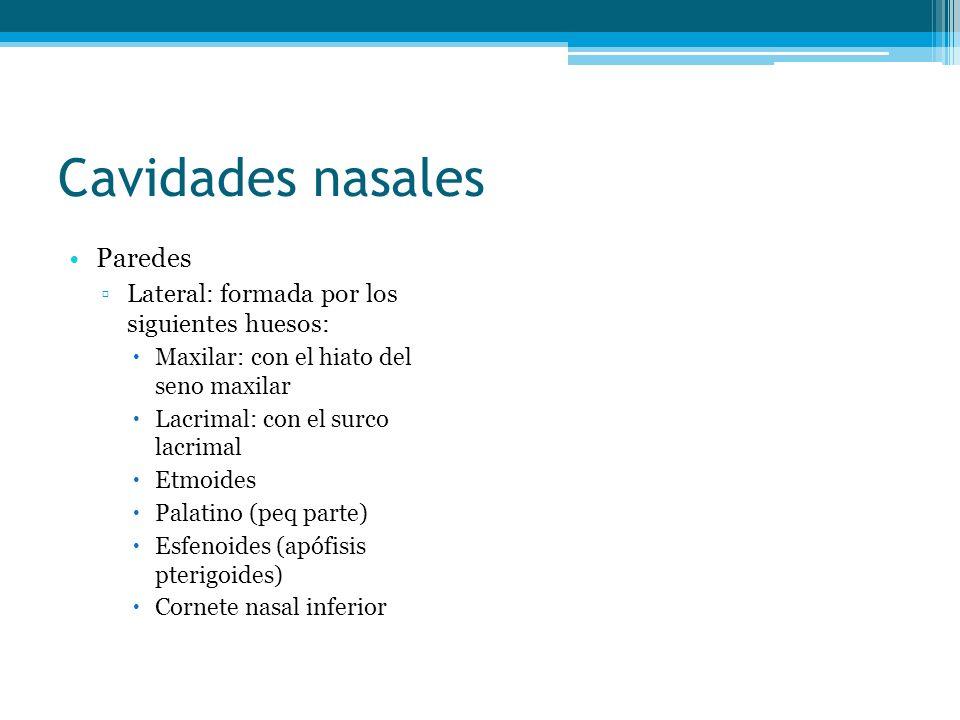 Cavidades nasales Paredes Lateral: formada por los siguientes huesos: Maxilar: con el hiato del seno maxilar Lacrimal: con el surco lacrimal Etmoides