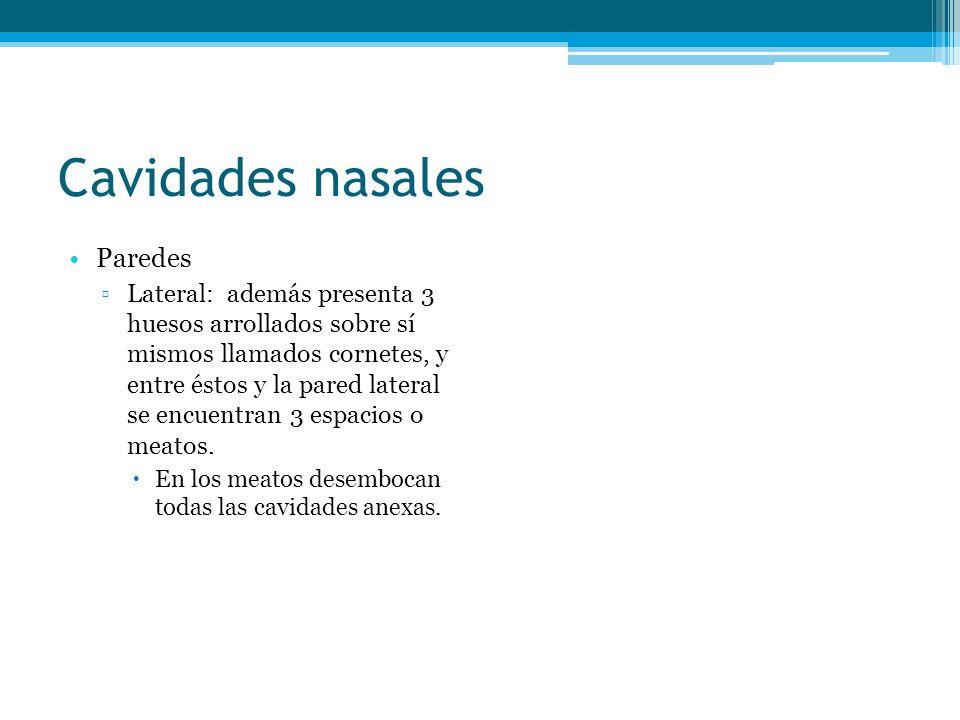 Cavidades nasales Paredes Lateral: además presenta 3 huesos arrollados sobre sí mismos llamados cornetes, y entre éstos y la pared lateral se encuentr
