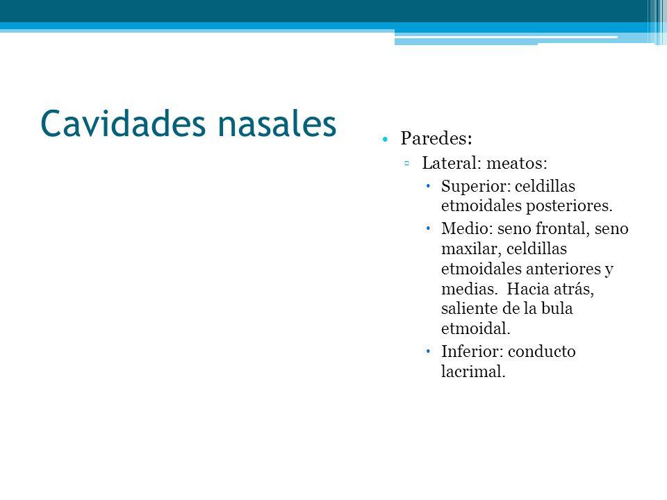 Cavidades nasales Paredes: Lateral: meatos: Superior: celdillas etmoidales posteriores. Medio: seno frontal, seno maxilar, celdillas etmoidales anteri