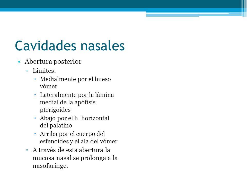 Cavidades nasales Abertura posterior Límites: Medialmente por el hueso vómer Lateralmente por la lámina medial de la apófisis pterigoides Abajo por el