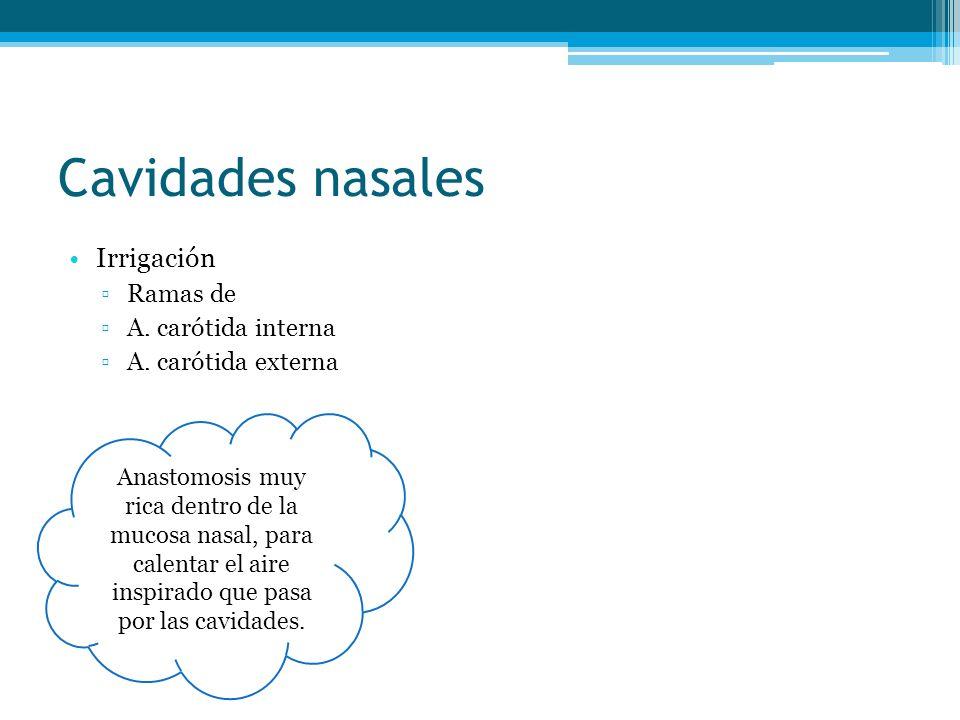 Cavidades nasales Irrigación Ramas de A. carótida interna A. carótida externa Anastomosis muy rica dentro de la mucosa nasal, para calentar el aire in