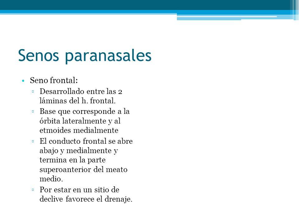 Senos paranasales Seno frontal: Desarrollado entre las 2 láminas del h. frontal. Base que corresponde a la órbita lateralmente y al etmoides medialmen