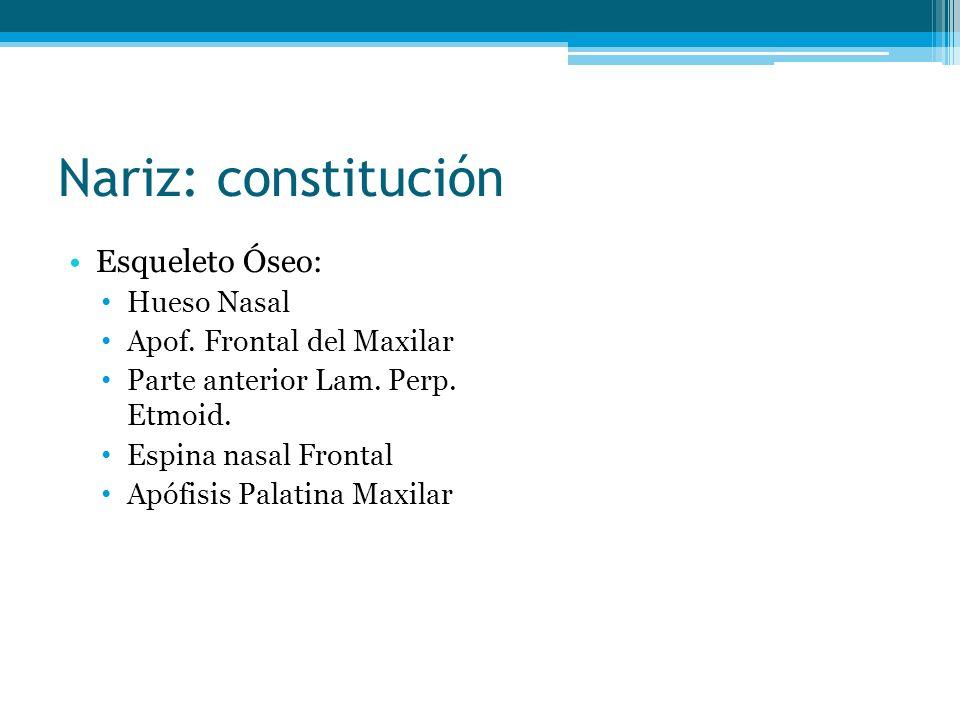 Nariz: constitución Esqueleto Óseo: Hueso Nasal Apof. Frontal del Maxilar Parte anterior Lam. Perp. Etmoid. Espina nasal Frontal Apófisis Palatina Max
