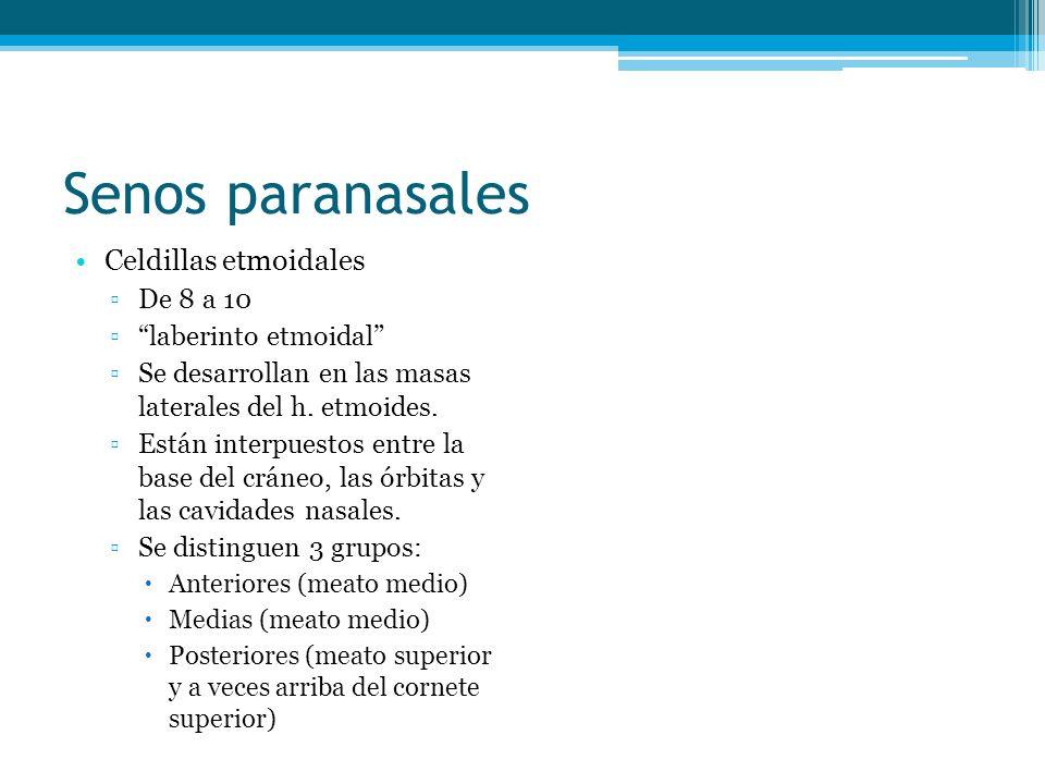 Senos paranasales Celdillas etmoidales De 8 a 10 laberinto etmoidal Se desarrollan en las masas laterales del h. etmoides. Están interpuestos entre la