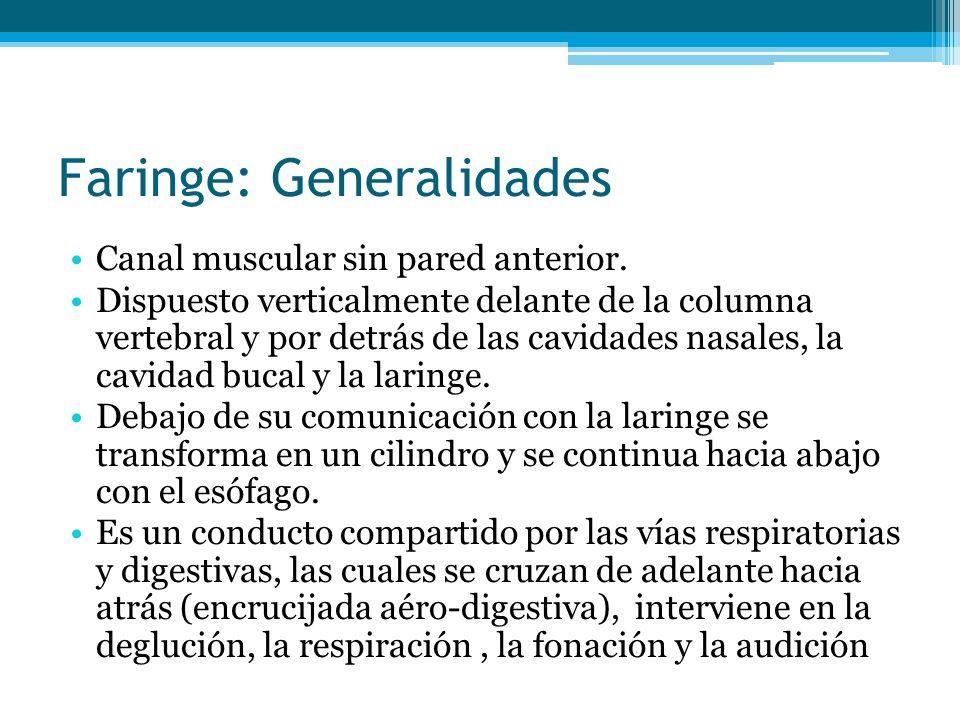Faringe: Generalidades Canal muscular sin pared anterior. Dispuesto verticalmente delante de la columna vertebral y por detrás de las cavidades nasale