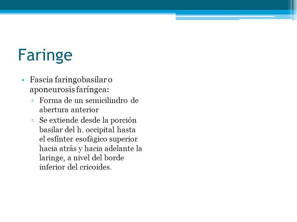 Faringe Fascia faringobasilar o aponeurosis faríngea: Forma de un semicilindro de abertura anterior Se extiende desde la porción basilar del h. occipi