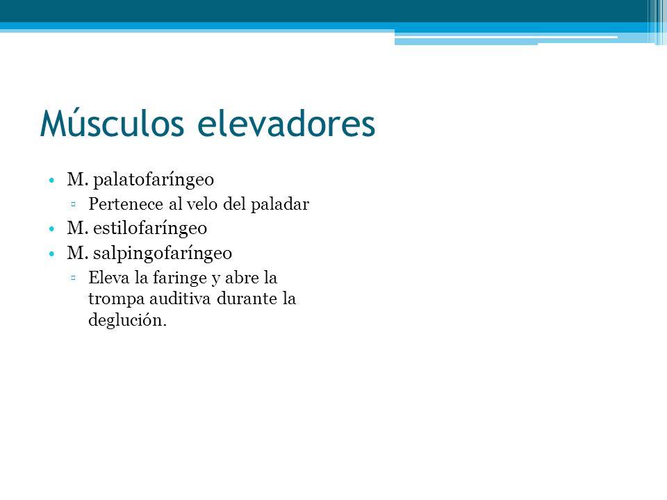 Músculos elevadores M. palatofaríngeo Pertenece al velo del paladar M. estilofaríngeo M. salpingofaríngeo Eleva la faringe y abre la trompa auditiva d
