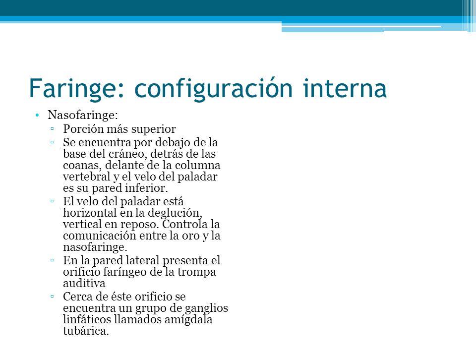 Faringe: configuración interna Nasofaringe: Porción más superior Se encuentra por debajo de la base del cráneo, detrás de las coanas, delante de la co