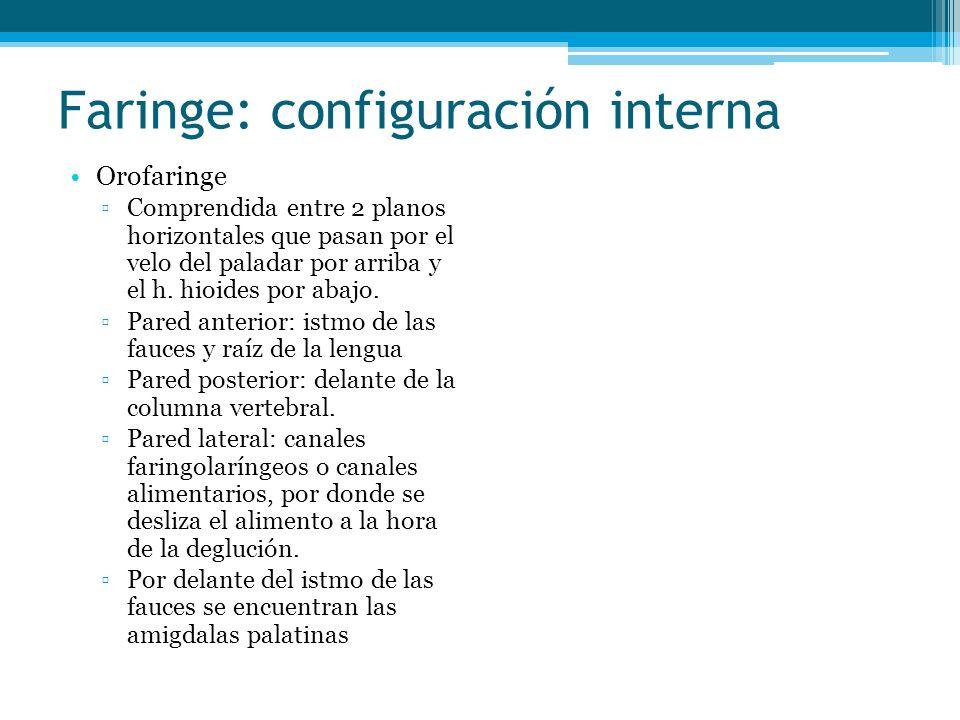 Faringe: configuración interna Orofaringe Comprendida entre 2 planos horizontales que pasan por el velo del paladar por arriba y el h. hioides por aba