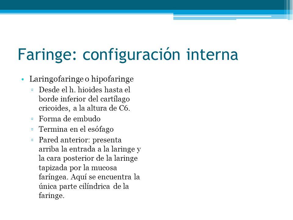 Faringe: configuración interna Laringofaringe o hipofaringe Desde el h. hioides hasta el borde inferior del cartílago cricoides, a la altura de C6. Fo