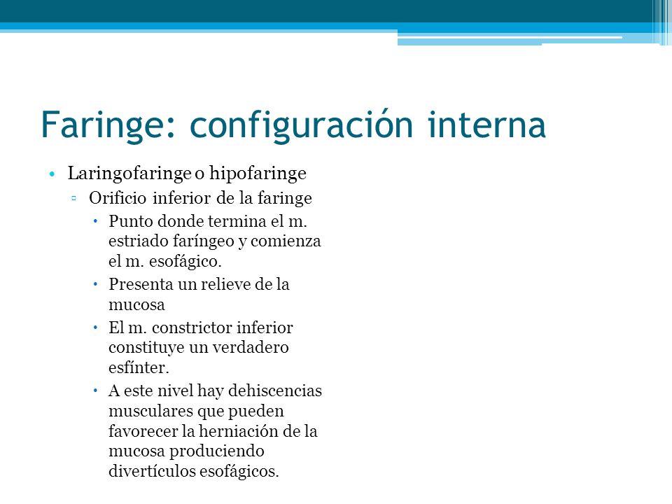 Faringe: configuración interna Laringofaringe o hipofaringe Orificio inferior de la faringe Punto donde termina el m. estriado faríngeo y comienza el