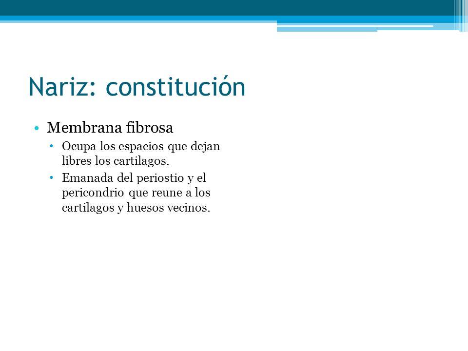 Nariz: constitución Membrana fibrosa Ocupa los espacios que dejan libres los cartilagos. Emanada del periostio y el pericondrio que reune a los cartil