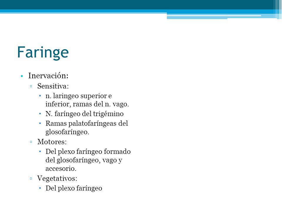 Faringe Inervación: Sensitiva: n. laringeo superior e inferior, ramas del n. vago. N. faríngeo del trigémino Ramas palatofaríngeas del glosofaríngeo.