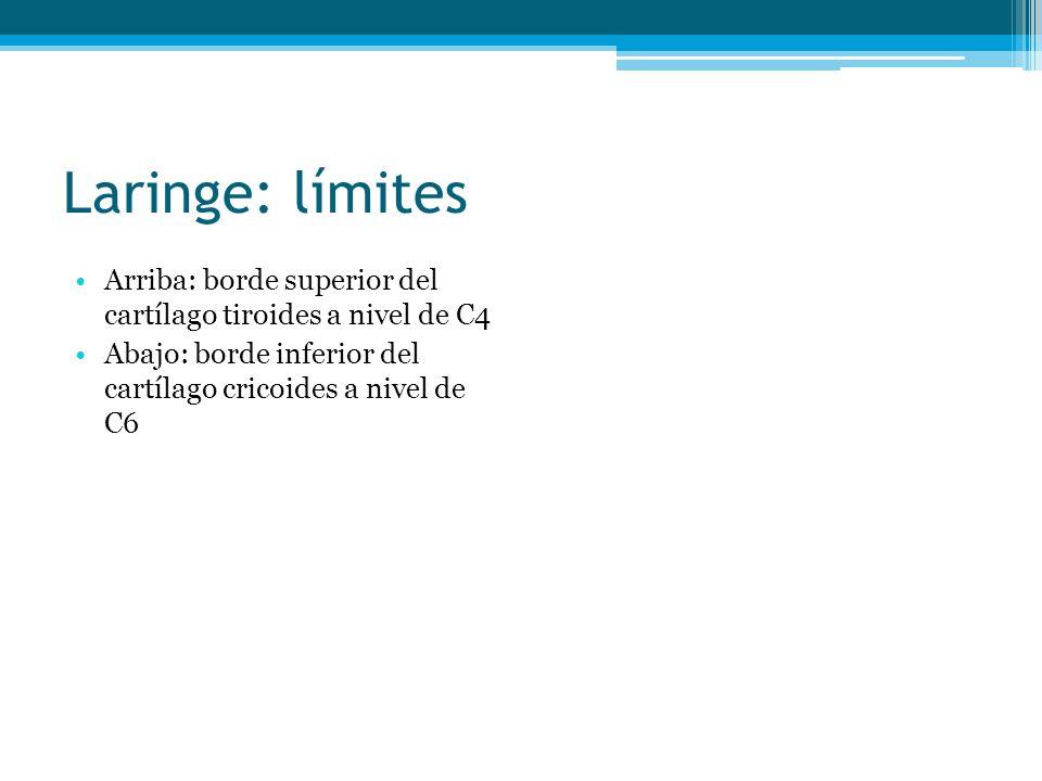Laringe: límites Arriba: borde superior del cartílago tiroides a nivel de C4 Abajo: borde inferior del cartílago cricoides a nivel de C6