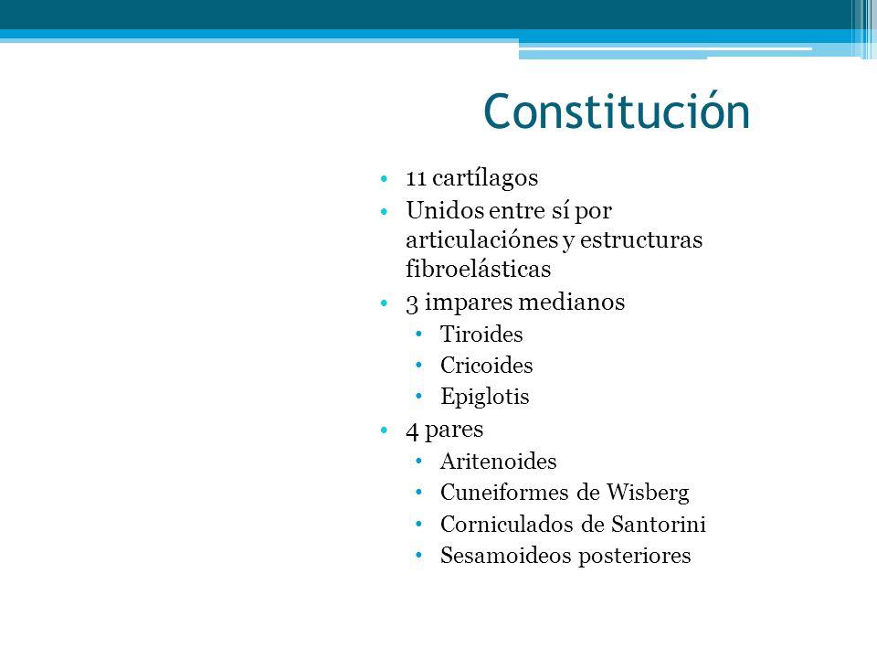 Constitución 11 cartílagos Unidos entre sí por articulaciónes y estructuras fibroelásticas 3 impares medianos Tiroides Cricoides Epiglotis 4 pares Ari
