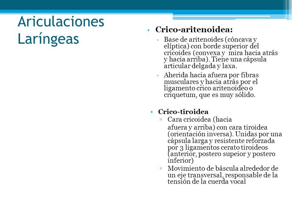 Ariculaciones Laríngeas Crico-aritenoidea: Base de aritenoides (cóncava y elíptica) con borde superior del cricoides (convexa y mira hacia atrás y hac