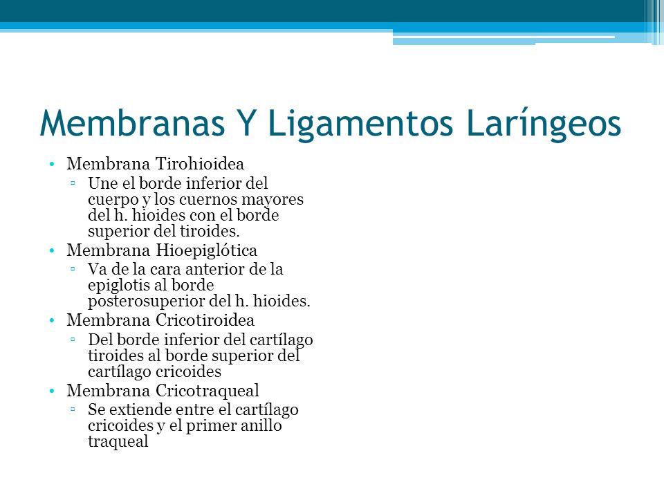 Membranas Y Ligamentos Laríngeos Membrana Tirohioidea Une el borde inferior del cuerpo y los cuernos mayores del h. hioides con el borde superior del