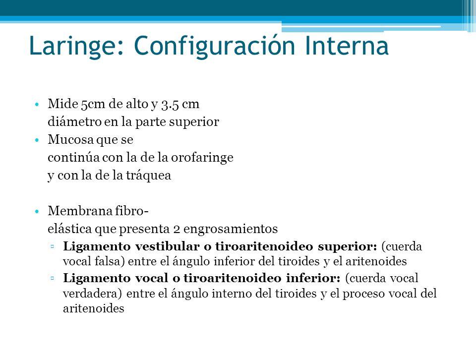 Laringe: Configuración Interna Mide 5cm de alto y 3.5 cm diámetro en la parte superior Mucosa que se continúa con la de la orofaringe y con la de la t
