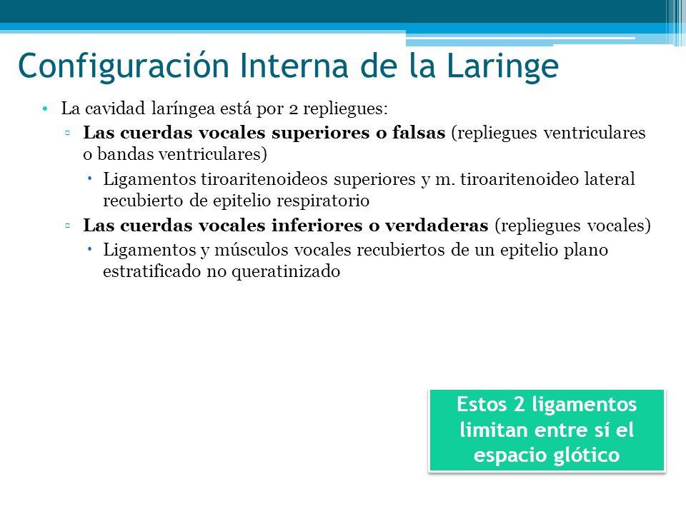 Configuración Interna de la Laringe La cavidad laríngea está por 2 repliegues: Las cuerdas vocales superiores o falsas (repliegues ventriculares o ban