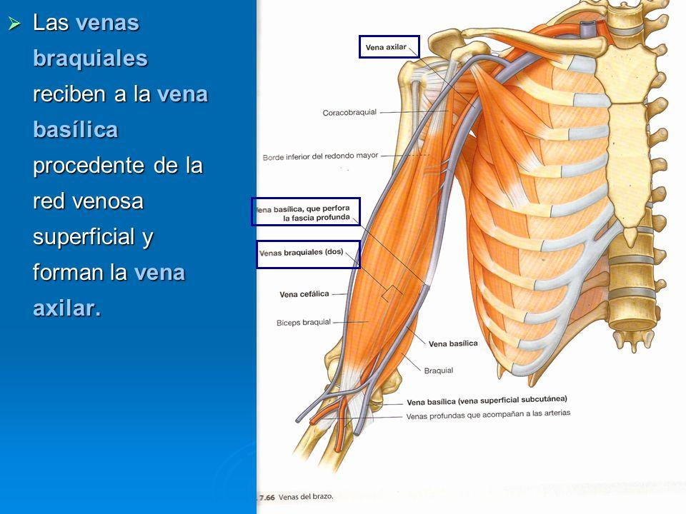 Las venas braquiales reciben a la vena basílica procedente de la red venosa superficial y forman la vena axilar. Las venas braquiales reciben a la ven