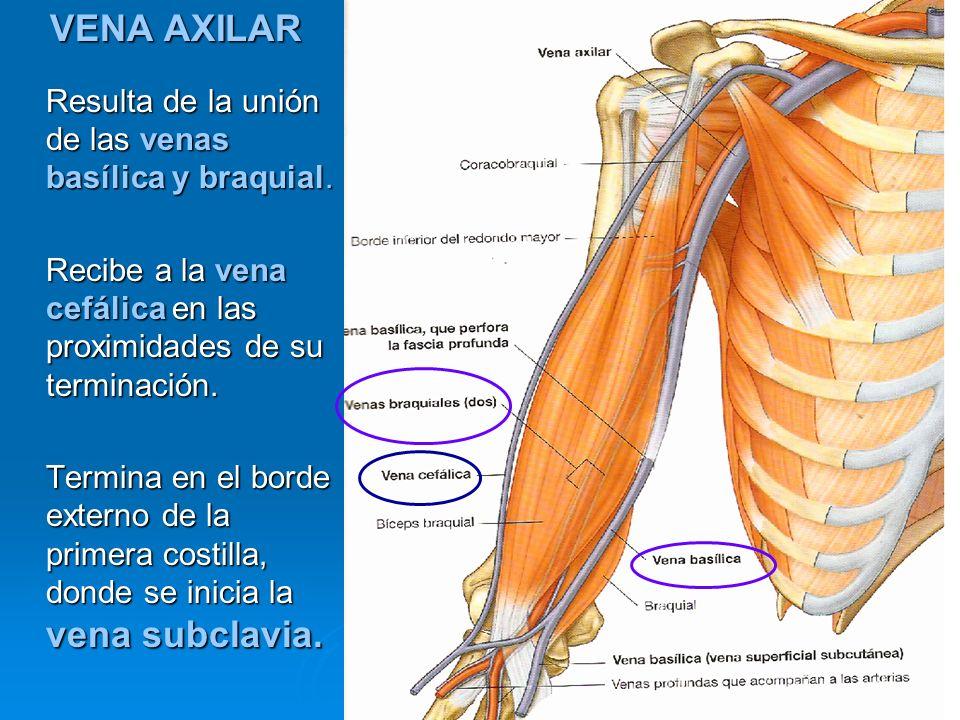 VENA AXILAR Resulta de la unión de las venas basílica y braquial. Recibe a la vena cefálica en las proximidades de su terminación. Termina en el borde