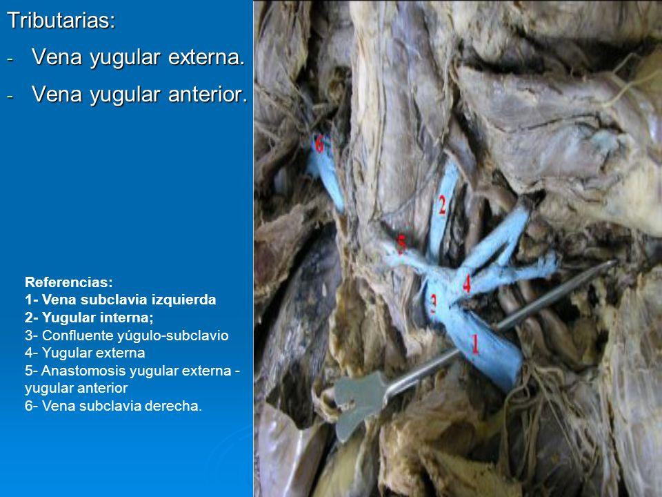 Tributarias: - Vena yugular externa. - Vena yugular anterior. Referencias: 1- Vena subclavia izquierda 2- Yugular interna; 3- Confluente yúgulo-subcla