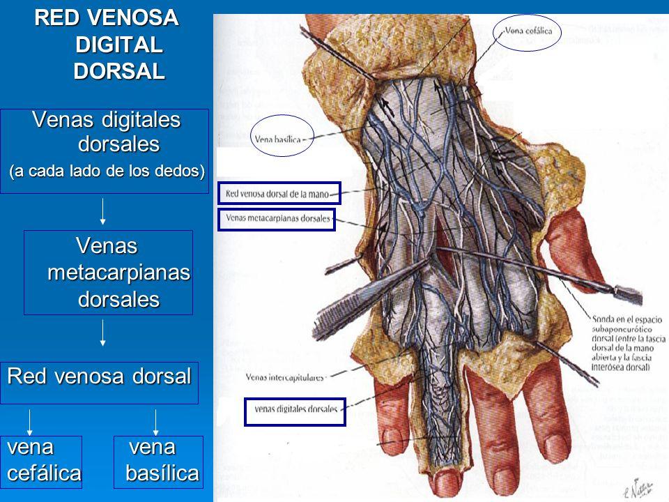 RED VENOSA DIGITAL DORSAL Venas digitales dorsales (a cada lado de los dedos) Venas metacarpianas dorsales Red venosa dorsal vena vena cefálica basíli