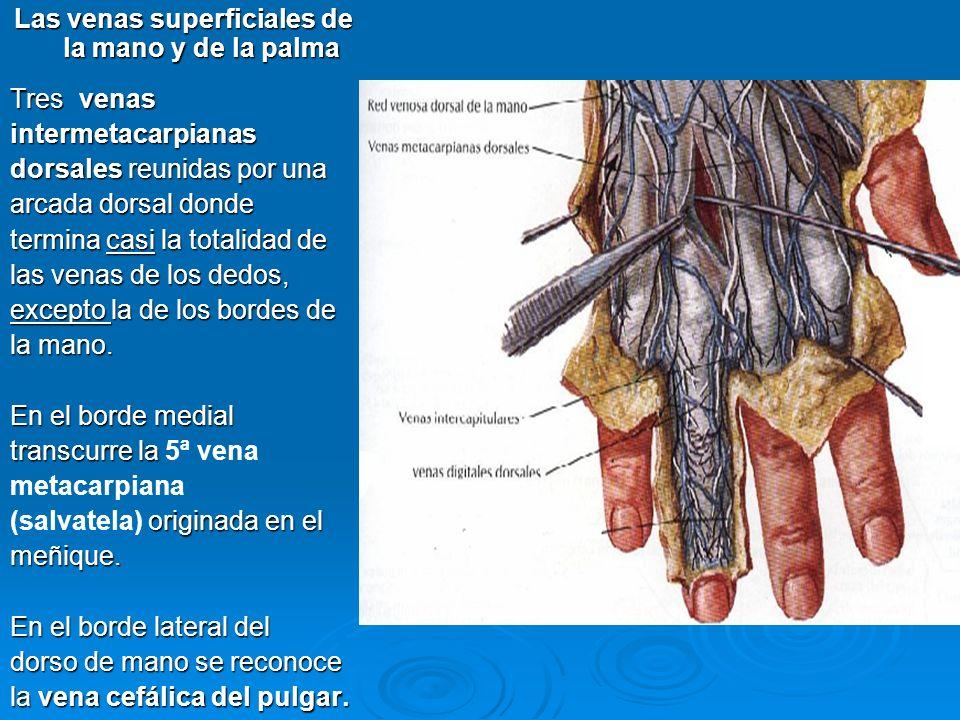 Las venas superficiales de la mano y de la palma Tres venas intermetacarpianas dorsales reunidas por una arcada dorsal donde termina casi la totalidad