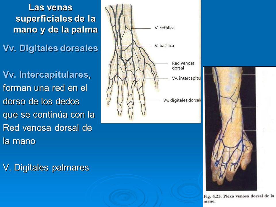 Las venas superficiales de la mano y de la palma Vv. Digitales dorsales Vv. Intercapitulares, forman una red en el dorso de los dedos que se continúa