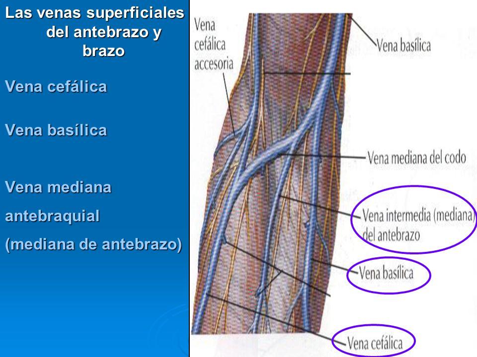 Las venas superficiales del antebrazo y brazo Vena cefálica Vena basílica Vena mediana antebraquial (mediana de antebrazo)