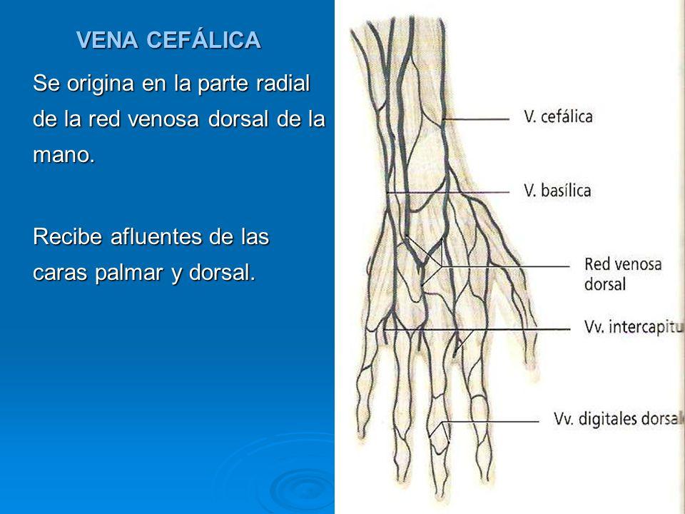 VENA CEFÁLICA Se origina en la parte radial de la red venosa dorsal de la mano. Recibe afluentes de las caras palmar y dorsal.