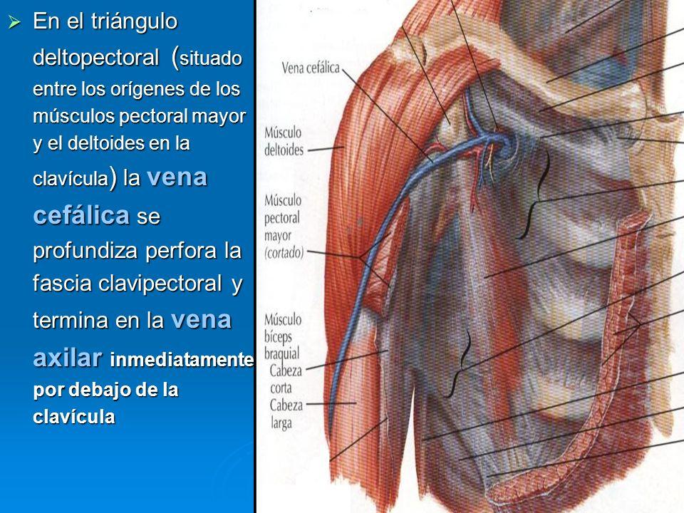 En el triángulo deltopectoral ( situado entre los orígenes de los músculos pectoral mayor y el deltoides en la clavícula ) la vena cefálica se profund