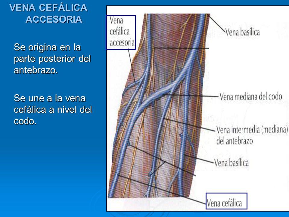 VENA CEFÁLICA ACCESORIA Se origina en la parte posterior del antebrazo. Se une a la vena cefálica a nivel del codo.