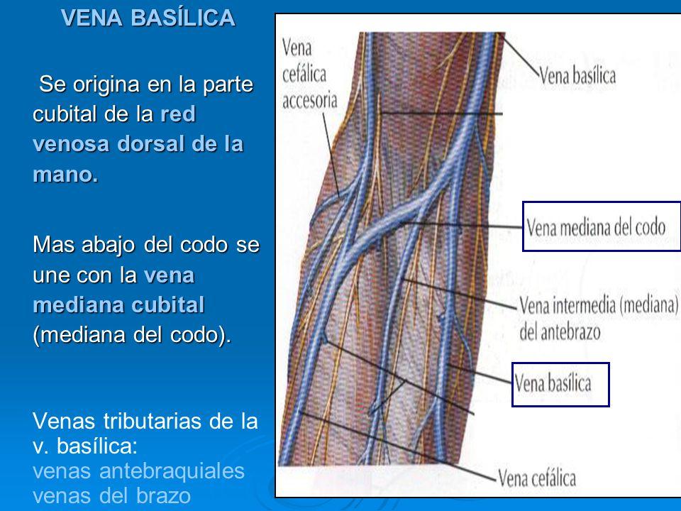 VENA BASÍLICA Se origina en la parte cubital de la red venosa dorsal de la mano. Se origina en la parte cubital de la red venosa dorsal de la mano. Ma