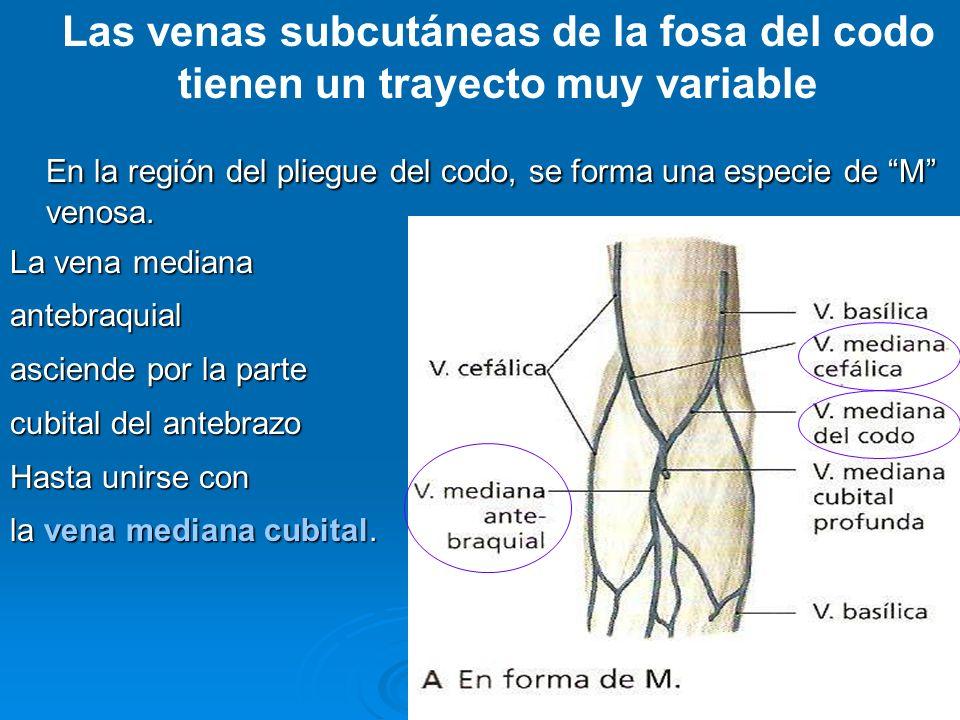 Las venas subcutáneas de la fosa del codo tienen un trayecto muy variable En la región del pliegue del codo, se forma una especie de M venosa. La vena